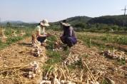 마늘·양파 수확 및 저장 요령 지도 나서